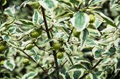 picture of dogwood  - Cornus mas  - JPG