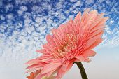 Chrysanthemum On Background