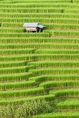 stock photo of shacks  - beautiful green rice field terrace with shack at Maejam Chiangmai Thailand - JPG