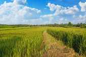 Landscape Green Rice Fields With Blue Sky