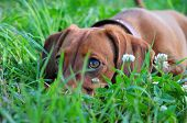 Dog looks out out of the grass. Close-up.Smooth-haired dachshund standard, color red, female.