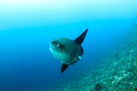 pic of mola  - Large Mola Mola (Oceanic Sunfish) deep underwater