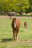 picture of foal  - Horse and foal walking to camera on ranch - JPG