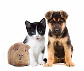 picture of puppy kitten  - a kitten and puppy and guinea pig on a white background - JPG