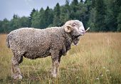 picture of tease  - male sheep to tease protruding tongue - JPG