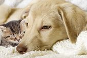 image of puppy kitten  - kitten and puppy on a white veil - JPG