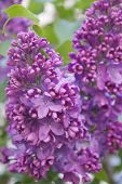 stock photo of lilac bush  - Blooming lilac bushes against the clear blue sky in spring - JPG