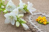pic of angiosperms  - White flowers Campanula lie on the heart of coarse cloth - JPG