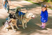 stock photo of girlie  - little girl in blue jacket standing and looking at Dogs in harness - JPG
