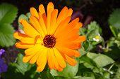 foto of marigold  - Bright orange flower pot marigold  - JPG