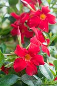 picture of petunia  - Red Petunia flowers closeup with yellow interior and green leaves in vertical format - JPG