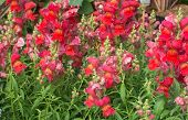 picture of may-flower  - Red and pink snapdragon flowers Antirrhinum majus closeup in May - JPG