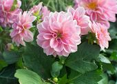 stock photo of may-flower  - Sweet pink Dahlia flowers and green leaves blossoming in May - JPG