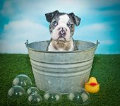 foto of tub  - Cute Boston Terrier puppy outside in a tub with bubbles and a rubber ducky - JPG
