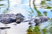 image of crocodiles  - Big Brown and Yellow Amphibian Prehistoric Crocodile - JPG