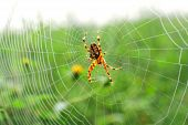 European Garden Spider (araneus Diadematus), Diadem Spider, Or Cross Spider