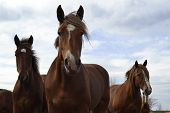 stock photo of herd horses  - three horses from herd looking at the camera - JPG