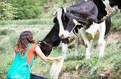 picture of feeding  - Farmer feeding cows on an organic farm - JPG