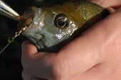 pic of bluegill  - bluegill caught from lake on a summer day - JPG