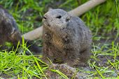 pic of marmot  - A young European alpine marmot  - JPG