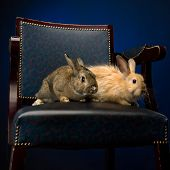 Rabbit On The Chair