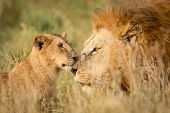 Постер, плакат: Young Lion Cub Greeting A Large Male Lion In The Serengeti Tanzania