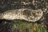 Harbor Seal Pct5597