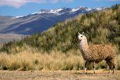 Andean Llama