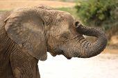 Elephant Headache