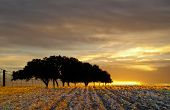 lone stand of oaks in wheat field with golden sunrise,texas hillcountry