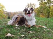 Australian Shepherd in the Fall