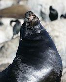 Barking Seal poster
