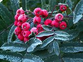Ashberries With The Touch Of The Frost