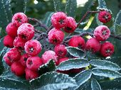 Ashberries With The Touch Of The Frost Close Up