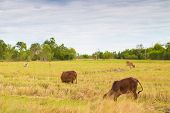 Fields Fed Cattle And Brown Cows, Grasses In The Fields, Harvested,cow Farming In The Field Is Finis poster