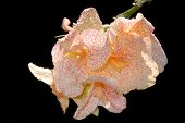 picture of gladiola  - Detail of Pink Sptted Gladiola With Dew Drops Against Black Background - JPG