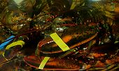 Lobsters Underwater At Fish Market