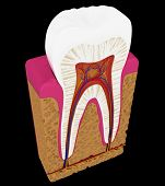 Tooth Cut Or Section Isolated