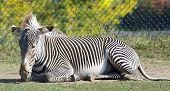 Zebra In Repose