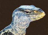 Ornate Nile Monitor Lizard