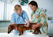 Vet examinar o cão doente