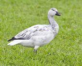 White-morph Juvenile Snow Goose 791