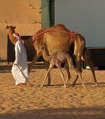 Man Walking Camels