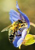 honeybee pollinated of blue flower