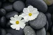 Beautiful two white daisy on zen stones
