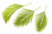 Yellow Palm Leaves (dypsis Lutescens) Or Golden Cane Palm, Areca Palm Leaves, Tropical Foliage Isola poster