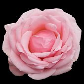 A Pink Rose (3)