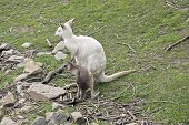 The Mother Albino Kangaroo Is Looking After Her Brown Joey poster