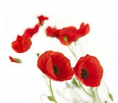 Natural Fresh Poppies isolated on white background / focus on the foreground / floral border