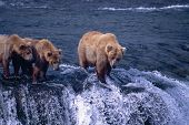 Grizzly Bears Waiting For Migrating Salmon